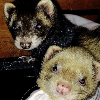 Rodents, Reptiles and Ferrets for Homing