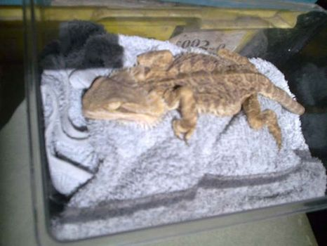 1-bearded-dragon-not-cared